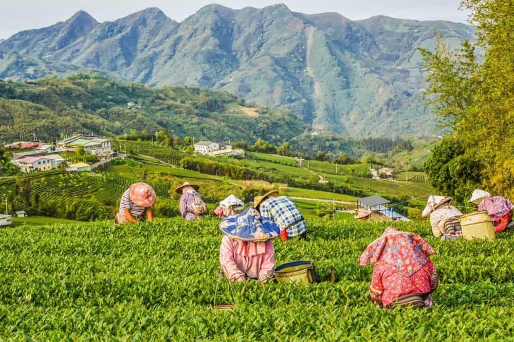 oolong tea garden