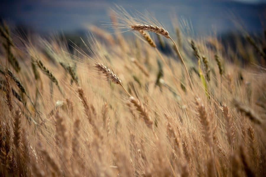 barley-e1560601188178-4210891