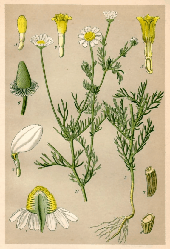 Chamomile is From The Old-World