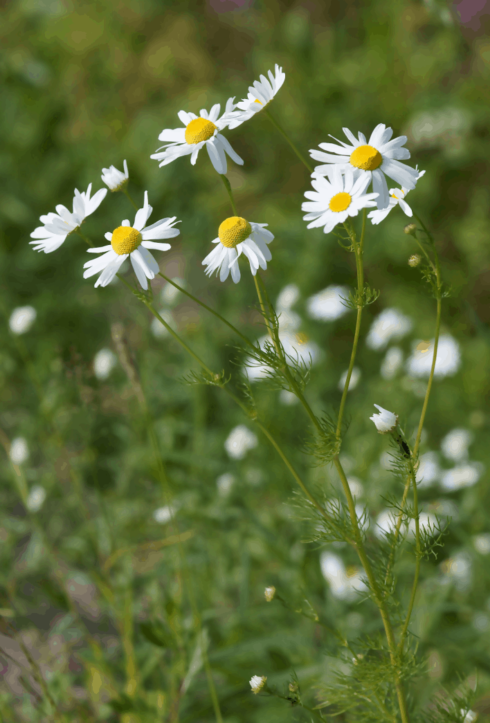 What is so Extraordinary About Chamomile Tea