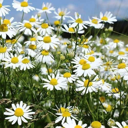 What is Chamomile