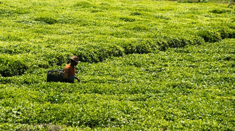 tea field in the Kenyan countryside