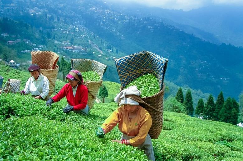 pick black tea in DARJEELING
